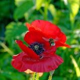 红色鸦片和土蜂 图库摄影
