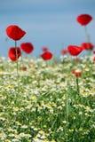 红色鸦片和春黄菊花 免版税库存图片