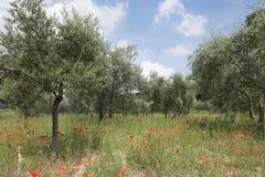 红色鸦片和橄榄树在法国普罗旺斯临近luberon区域 图库摄影