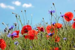 红色鸦片和矢车菊在蓝天背景 库存图片
