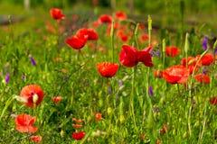 红色鸦片和野花 免版税图库摄影