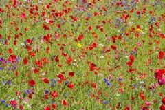 红色鸦片和野花 库存图片