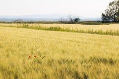 红色鸦片和麦子 免版税库存图片