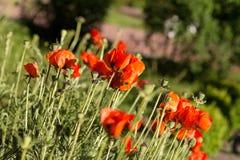 红色鸦片在一个绿色草甸的晴天 一个红色领域的照片 图库摄影