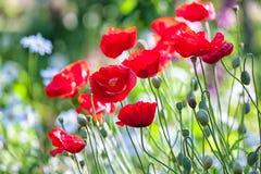 红色鸦片在夏天庭院里 免版税库存照片