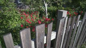 红色鸦片在庭院4K UHD里 股票录像