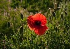 红色鸦片在有露水的一个草甸,照亮由太阳早晨 免版税库存照片