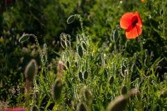 红色鸦片在有露水的一个草甸,照亮由太阳早晨 免版税库存图片