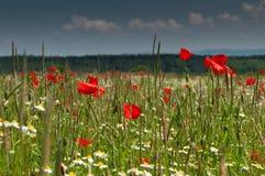 红色鸦片在绿色草甸开花在多云天空下 库存图片