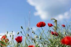 红色鸦片在草甸和多云天开花 免版税库存图片