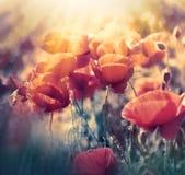 红色鸦片在草甸-狂放的鸦片花开花 库存照片