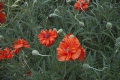 红色鸦片在草背景中  背景开花绿色红色 特写镜头 免版税库存图片