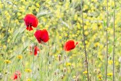 红色鸦片在领域,标志开花为记忆天 免版税库存照片