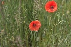 红色鸦片开花(罂粟属rhoeas) 免版税库存图片