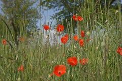红色鸦片开花(罂粟属rhoeas) 免版税库存照片