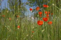 红色鸦片开花(罂粟属rhoeas) 库存照片