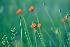红色鸦片有绿色背景在乌克兰的草甸 免版税库存图片