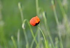 红色鸦片有绿色背景在乌克兰的草甸 免版税图库摄影