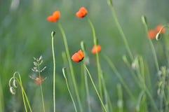 红色鸦片有绿色背景在乌克兰的草甸 库存照片