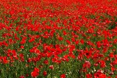 红色鸦片的一个大领域 自然风景 自然Backg 库存照片