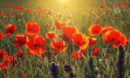 红色鸦片的美好的领域在日出光的,在Vald 免版税图库摄影