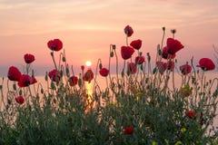 红色鸦片的美好的领域在日出的在海附近 免版税库存照片