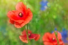 红色鸦片的芽在领域的 图库摄影