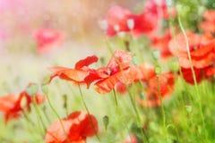 红色鸦片的芽在领域的 免版税库存图片
