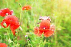 红色鸦片的芽在领域的 库存照片