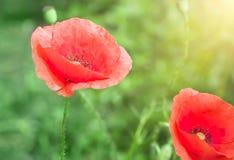 红色鸦片的芽在领域的 库存图片