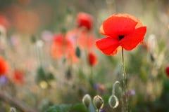 红色鸦片的野花 库存图片