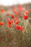 红色鸦片的野花 免版税图库摄影