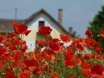 红色鸦片的领域在与房子的蓝天下在背景中 免版税库存照片