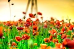 红色鸦片绽放的宏观射击在一个五颜六色,抽象和充满活力的开花领域的,草甸开花的夏天充分开花 免版税库存图片