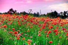 红色鸦片绽放的宏观射击在一个五颜六色,抽象和充满活力的开花领域的,草甸开花的夏天充分开花 库存照片