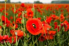 红色鸦片罂粟属rhoeas的领域 库存图片