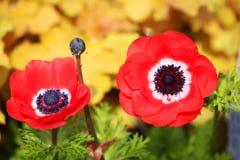 红色鸦片花。 库存图片