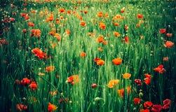 红色鸦片花为记忆天 免版税库存照片