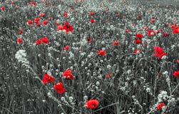 红色鸦片花为记忆天 免版税图库摄影