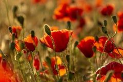 红色鸦片花到在日落的一块麦田里 春天 告诉 免版税库存照片