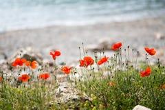 红色鸦片花卉生长在海滩 库存照片