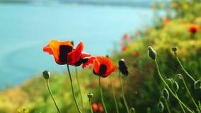 红色鸦片花卉生长在湖支持 股票视频