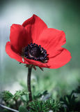 红色鸦片花卉生长本质上 库存照片
