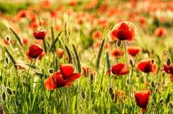 红色鸦片花和新鲜的麦子在领域在日落点燃 库存图片