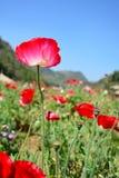 红色鸦片花和蓝天背景 免版税库存图片