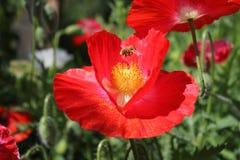 红色鸦片花和蜂 免版税库存图片
