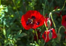 红色鸦片花和蜂 免版税图库摄影