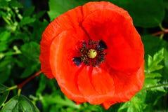 红色鸦片花在庭院里 库存图片
