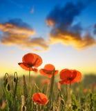 红色鸦片花在春天领域 免版税库存照片