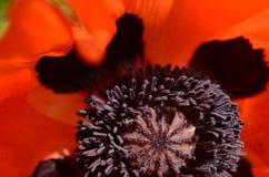 红色鸦片花种子荚花粉的里面中心 库存图片